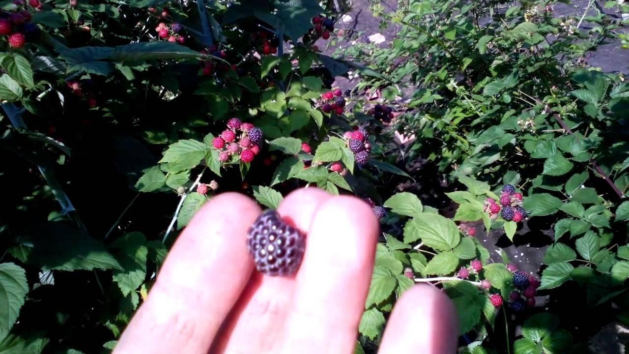 Черная малина: описание и фото лучших сортов, польза и применение + особенности посадки и ухода, отзывы садоводов