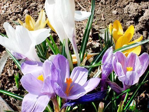 Когда выкапывать тюльпаны, крокусы и другие первоцветы