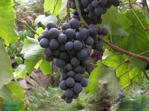 Неприхотливый гибрид с отличным послевкусием — виноград «восторг мускатный»