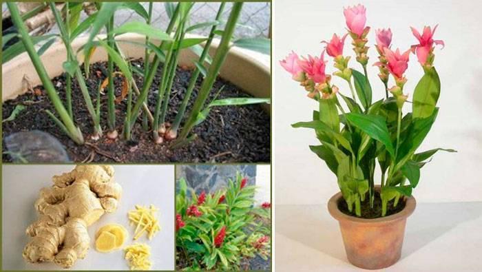Выращивание имбиря в открытом грунте и домашних условиях