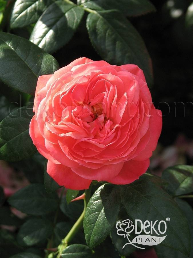 О розе queen of hearts (куин оф хартс): описание и характеристики