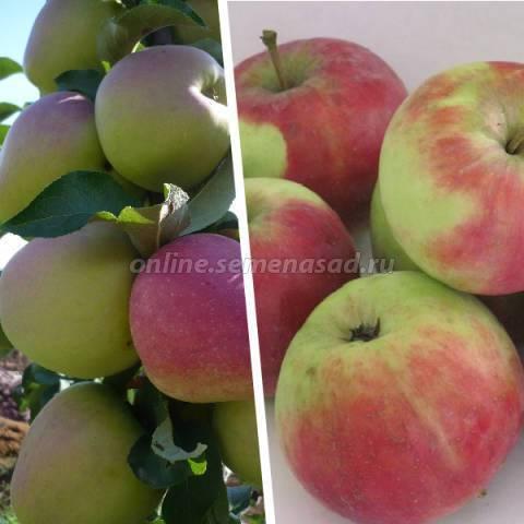 Яблоня бессемянка мичуринская: освещаем по полочкам