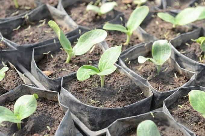 Любимые сочные кабачки: посадка семенами в открытый грунт и в теплицу (с фото и видео)