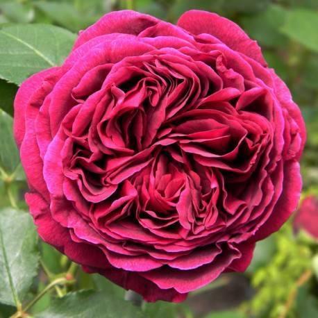 Описание роз дэвида остина, посадка и уход