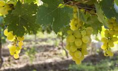 Плевен сорт винограда — ягоды грибы