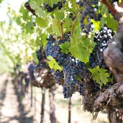 Как спасти виноград от весенних заморозков, когда открывать виноград