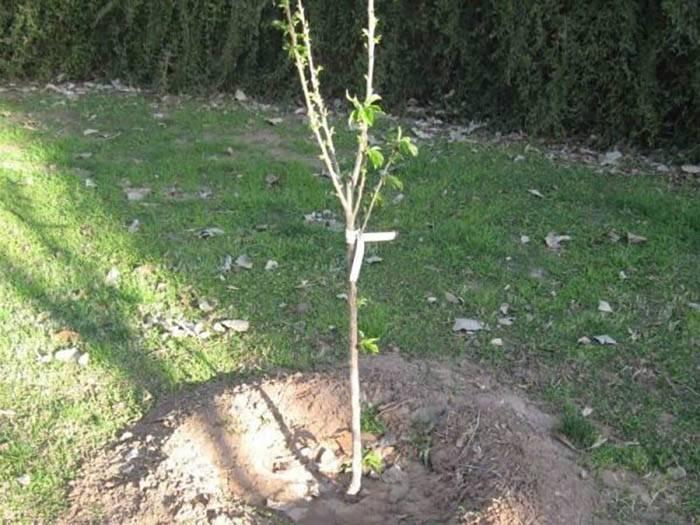 Как посадить яблоню: пошаговая инструкция