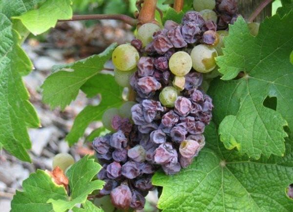 Почему скручиваются листья у винограда и что делать в таком случае?
