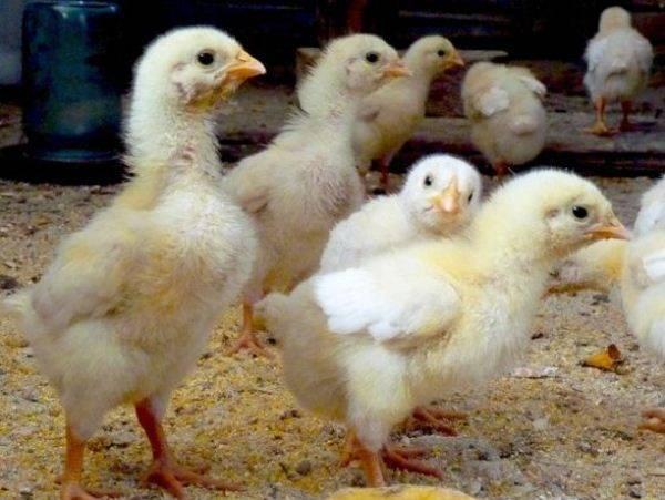 Метронидазол для цыплят и кур