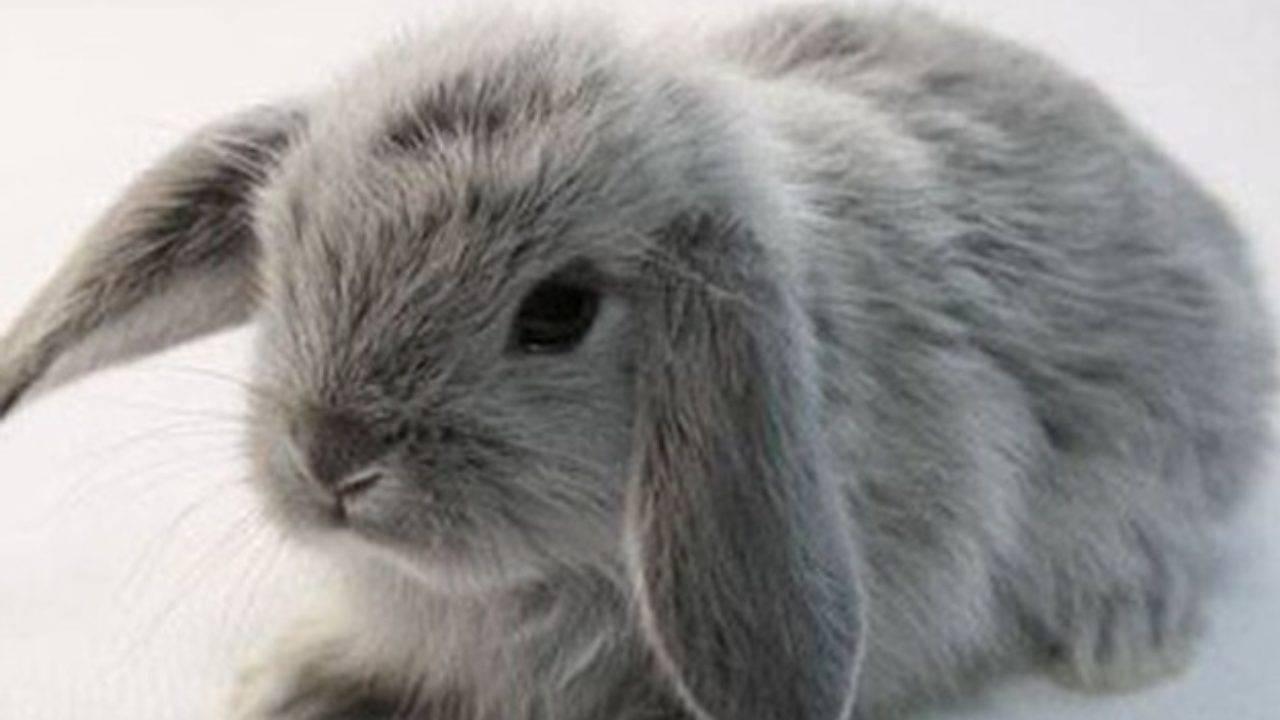 Кролик французский баран: описание породы, правила содержания и ухода