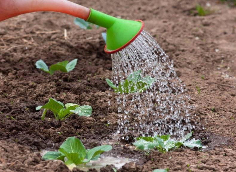 Как получить хороший урожай капусты даже в холодное дождливое лето