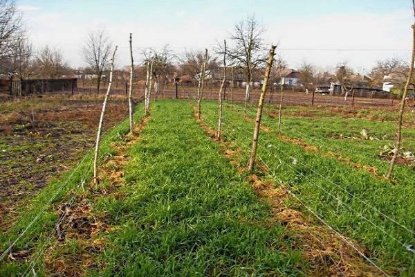 Сидераты для картофеля: как подготовить почву к посадке данной культуры? - общая информация - 2020