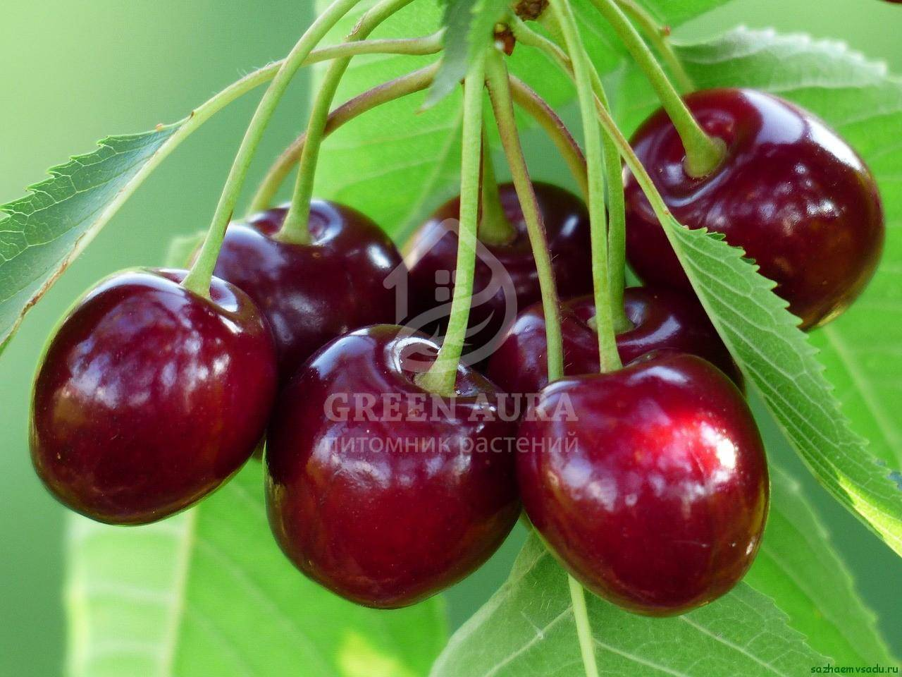 Выращивание вишни шпанка