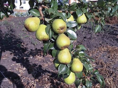 Всё о белорусской поздней груше: особенности выращивания и ухода