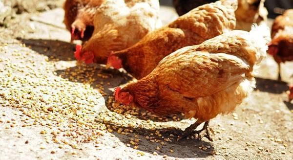 Кормление кур несушек в домашних условиях: норма в сутки, как правильно составить рацион и режим на даче летом, на птицефабрике и в других условиях, с использованием твердой пшеницы при содержании