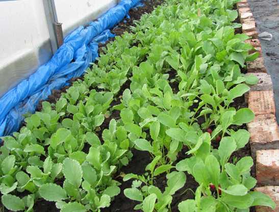 Когда сажать редиску в теплицу из поликарбоната: можно ли сеять ранней весной, в апреле, осенью, сроки в подмосковье и иных районов, лучшие сорта, выращивание, уход
