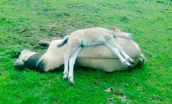 Как спят кони