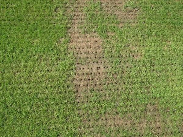 Полевица побегоносная как газонная трава, отзывы - общая информация - 2020