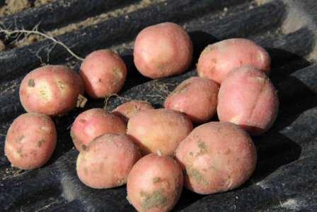 Описание и характеристика сорта картофеля ред скарлет - общая информация - 2020
