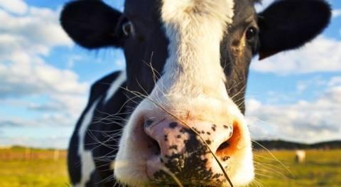 Яловая корова. решаем проблему, всё о стельности коров с фото и видео