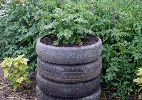 Картофель в бочке: преимущества и особенности выращивания