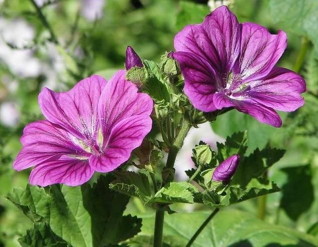 Мальва многолетняя: размножение семенами и уход за растением - энциклопедия цветов