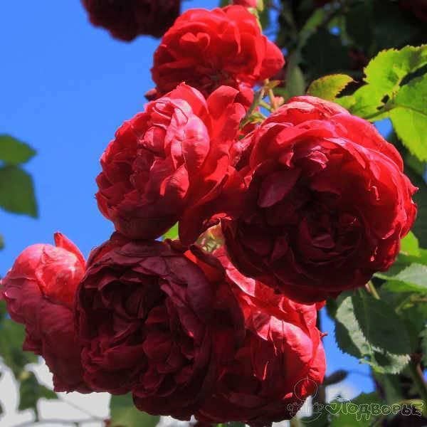 О розе Quadra: описание и характеристики, выращивание сорта канадской розы