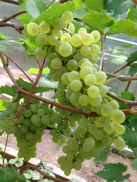 Виноград кристалл: описание сорта, характеристики и фото, растет ли в подмосковье?