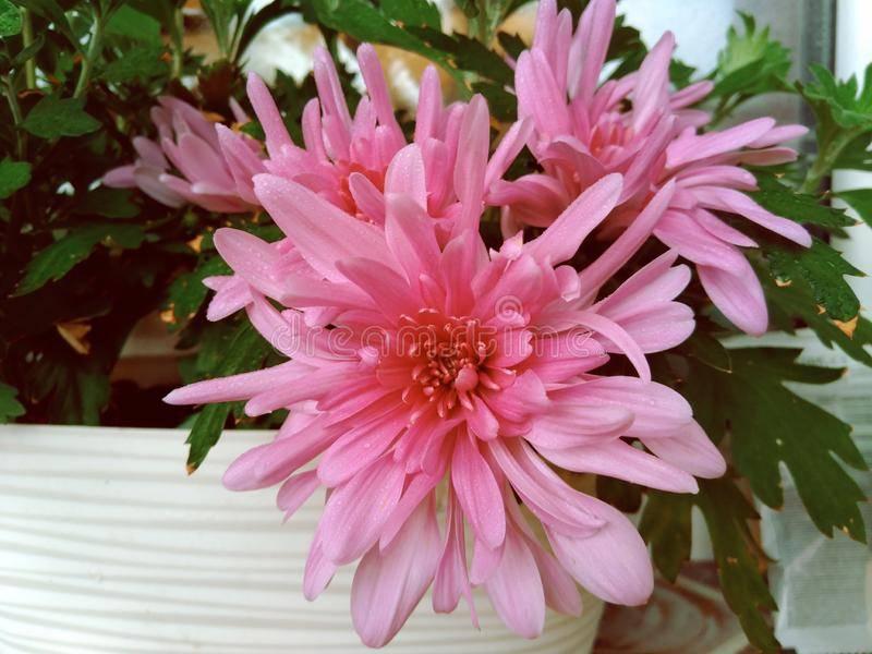 Правила посадки и выращивания крупноцветковых хризантем
