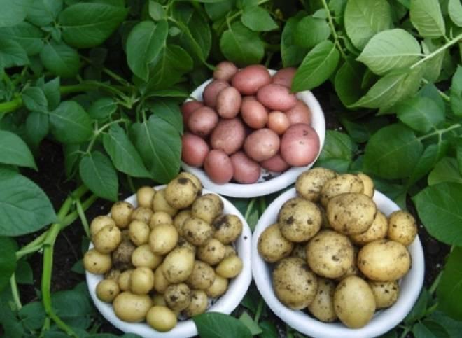 Можно ли сажать подмерзший картофель