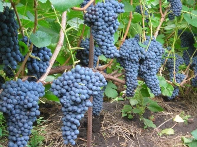 Специфика винограда сорта памяти шатилова