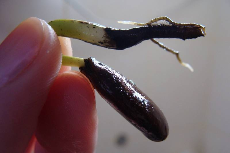 Хурма: выращивание в домашних условиях