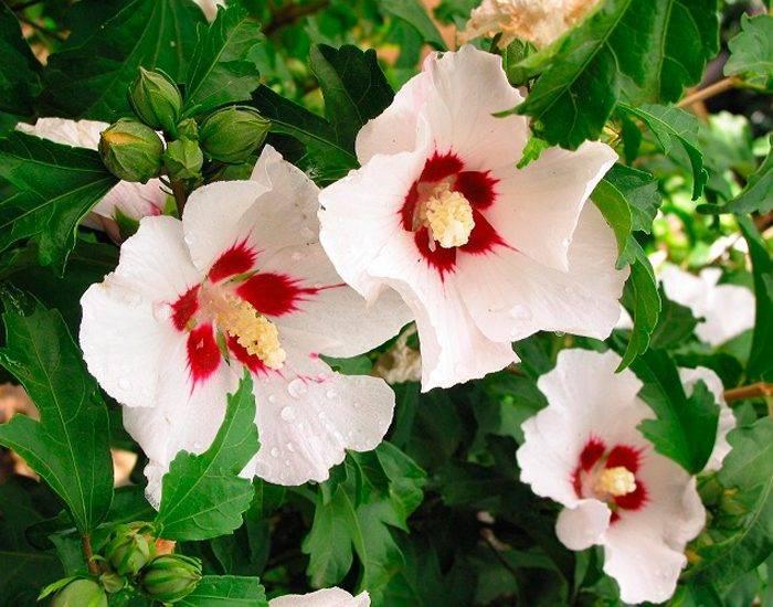 Гибискус сирийский: посадка и уход за розой, выращивание из семян + фото и видео