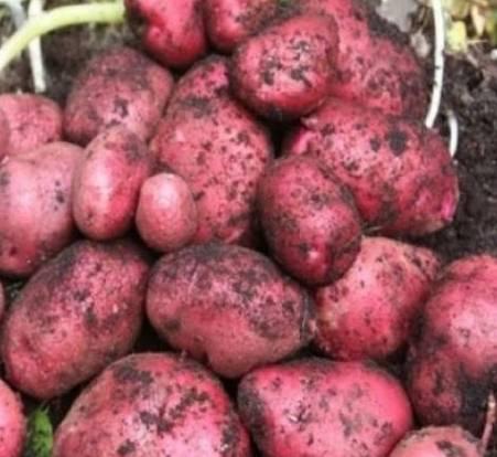 Картофель «родриго»: описание сорта, фото, посадка и уход, достоинства и недостатки
