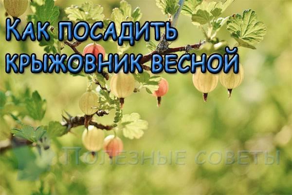 Как посадить крыжовник осенью: выбор саженцев, сроки и тонкости процесса