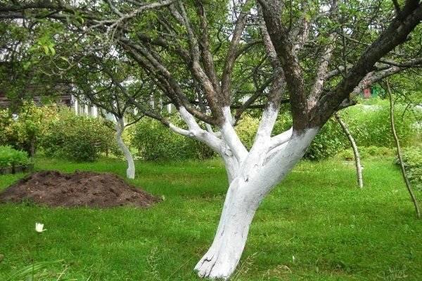 Когда белить яблони весной или осенью. когда и чем лучше проводить побелку яблонь — весной, летом или осенью, используем мел и известь