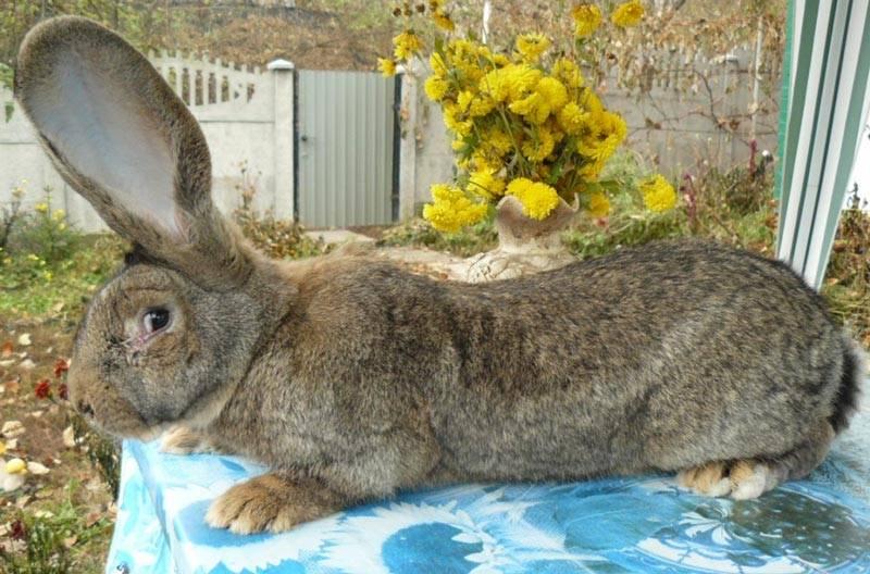 Описание калифорнийского кролика и правил его содержания