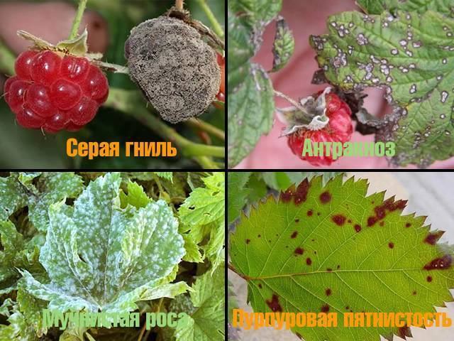 Самые опасные болезни и вредители малины: как спасти ягодник?