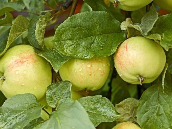 Успешный сорт яблони богатырь: характеристика и фото