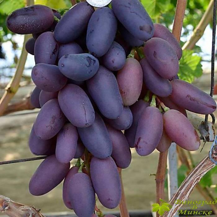 Виноград байконур – один из новых сортов раннего срока созревания