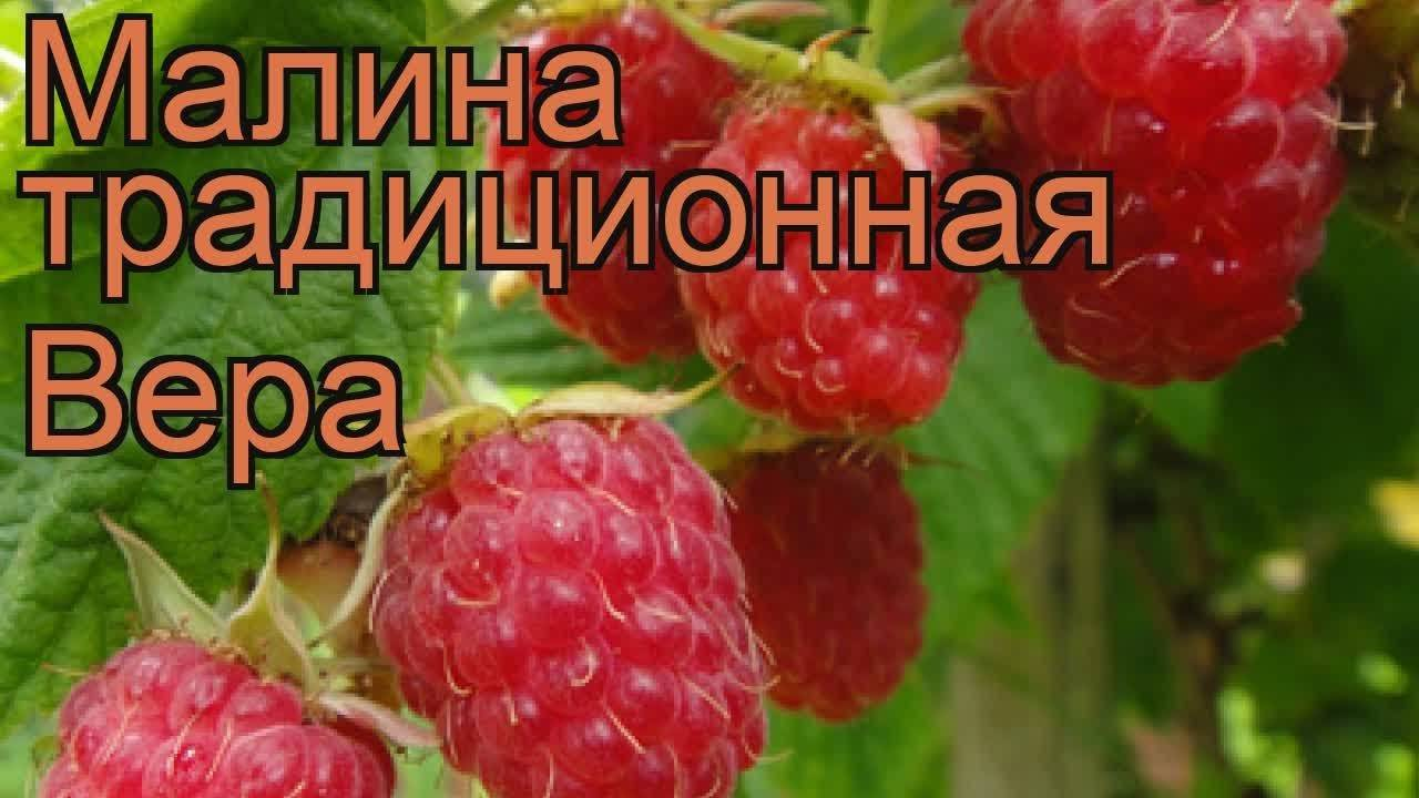 Малина гордость россии – посадка, уход, особенности сорта