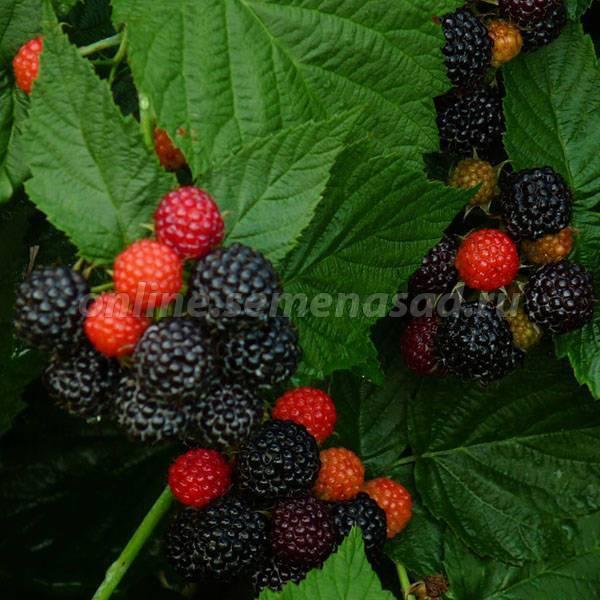 Блэк джевел (black jewel) — черноплодная малина: описание, особенности