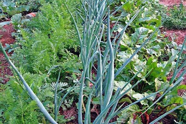 Соседство овощей на грядках: таблица