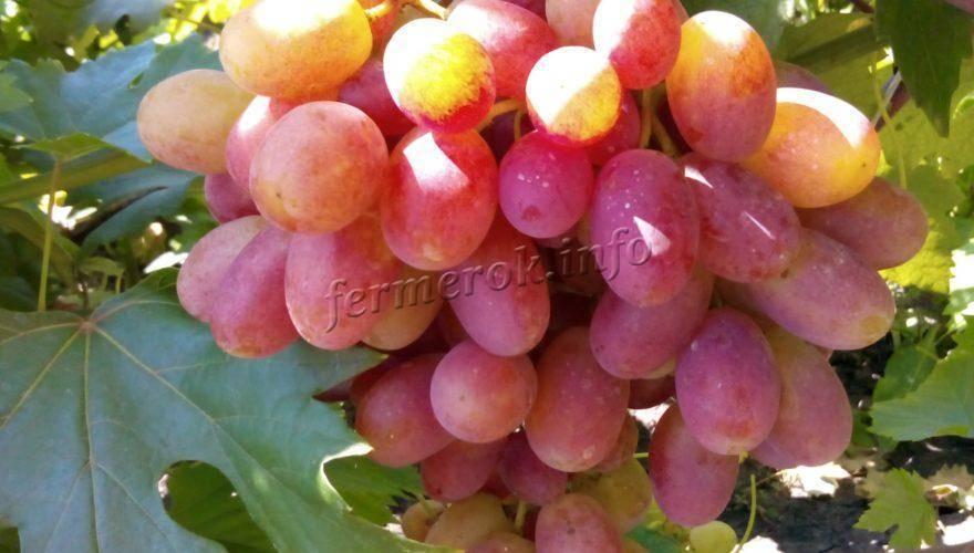Чем подкормить виноград - самые эффективные методы и средства