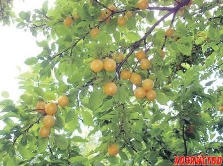 Почему не плодоносит абрикос: что делать