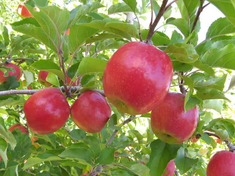Сорт яблони беркутовский: описание и особенности, фото и характеристики, выращивание и уход
