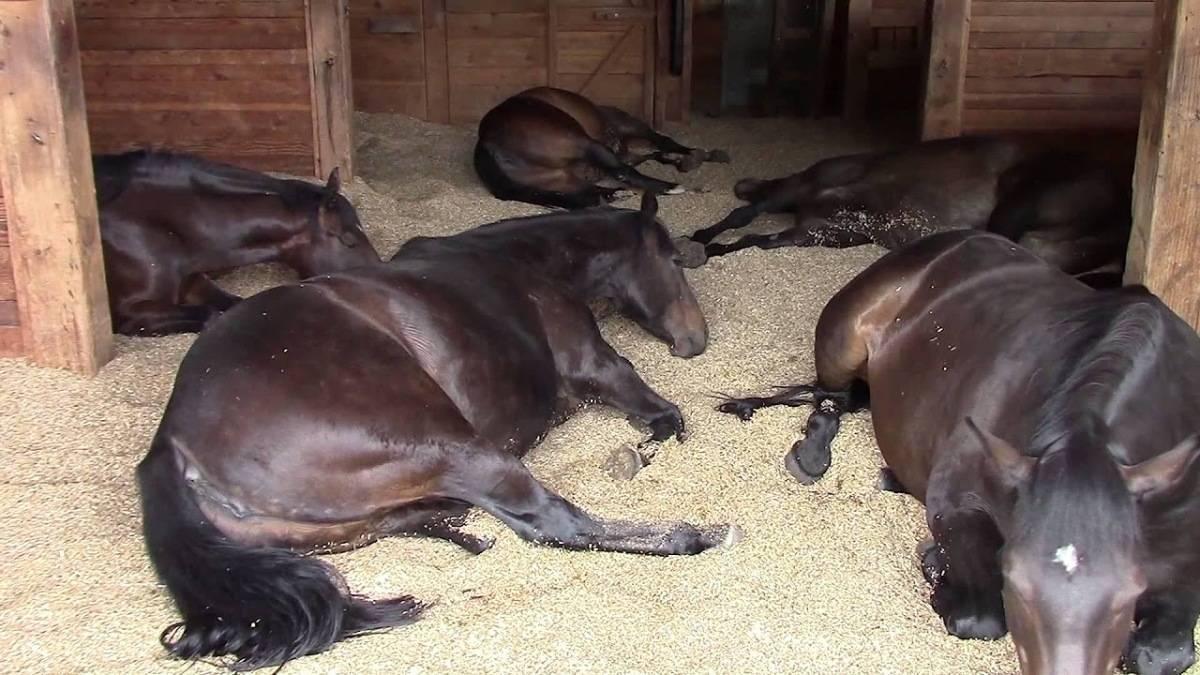 Как спят лошади и видят ли они сны? 2020