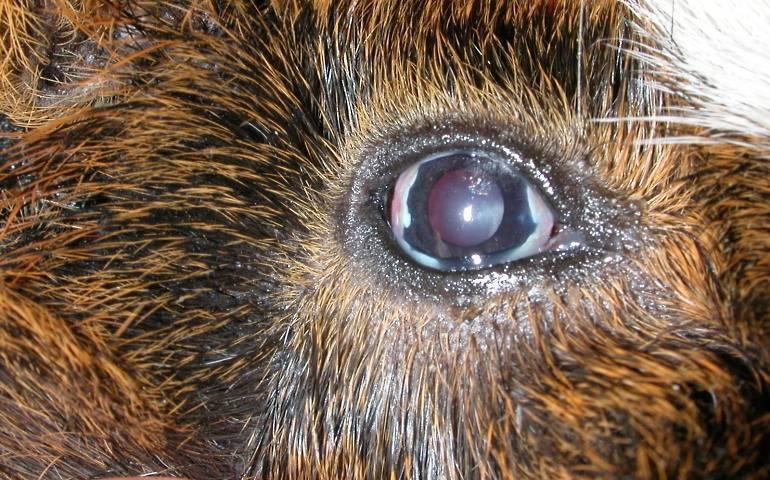 У кролика гноятся глаза: что делать при конъюнктивите, миксоматозе и других заболеваниях глаз?