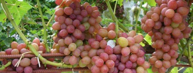 Сорта розового винограда: описание, фото, сравнительная характеристика