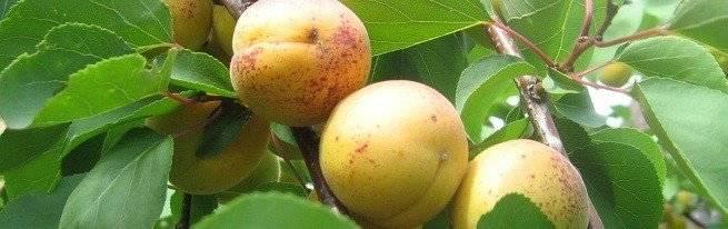 Выращивание абрикоса из косточки в домашних условиях и на даче, в грунте